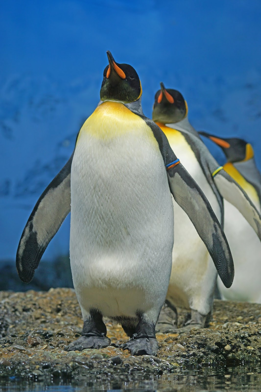 A parade of king penguins.