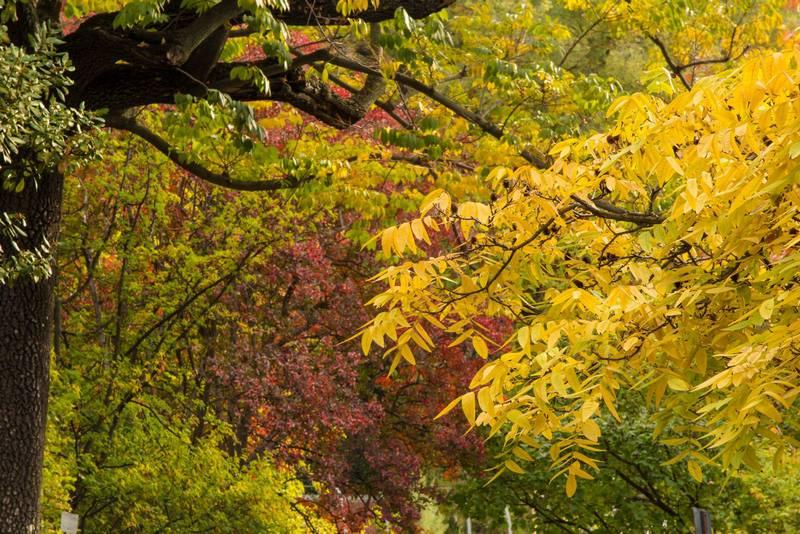Hojas amarillas, rojas y verdes de Platycarya strobilacea, Lagerstroemia indica y otras caducifolias