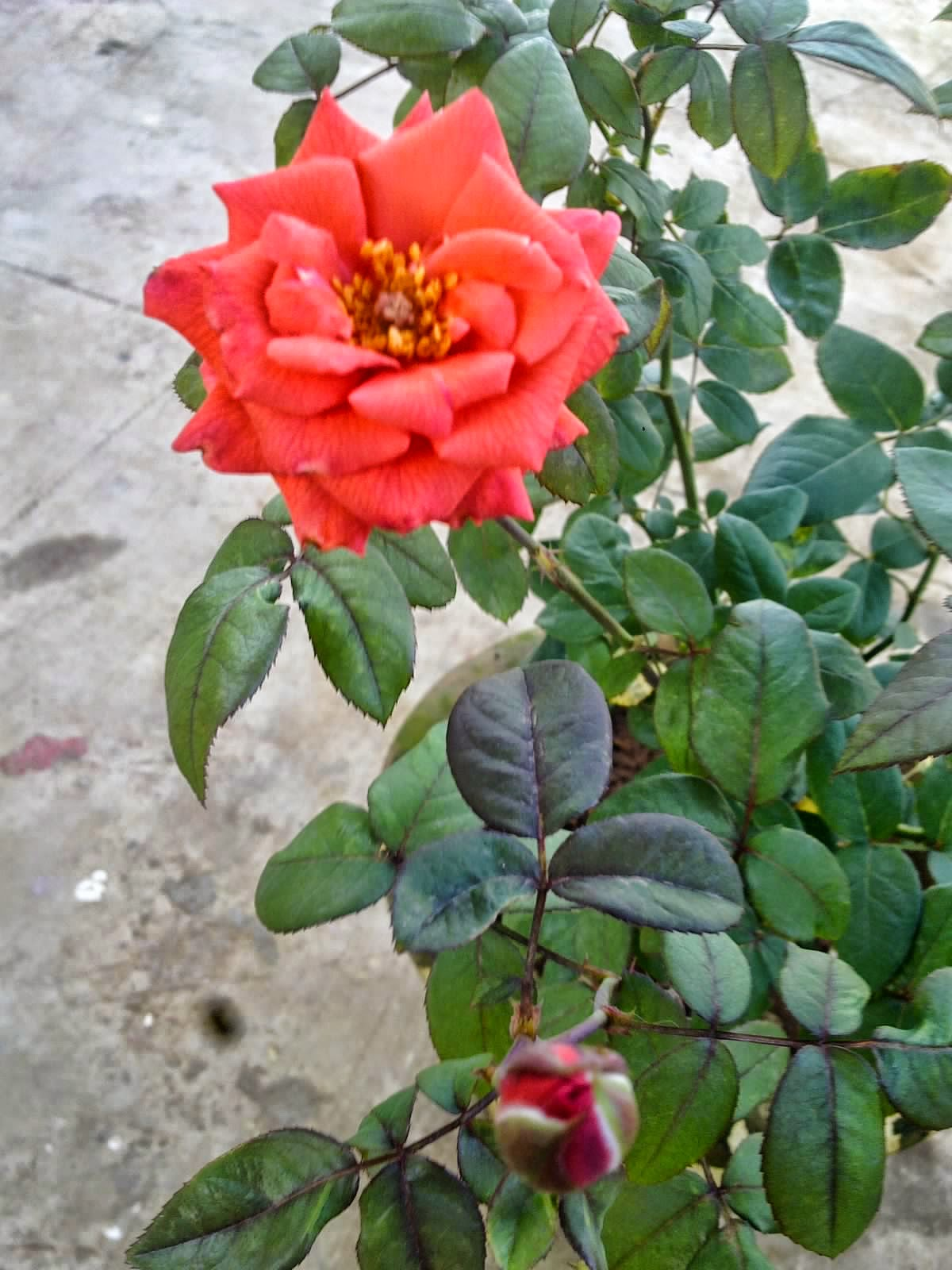 You Can Begin Fertilizing The Plant Regularly With Any Of Options Given Below Orange Rose