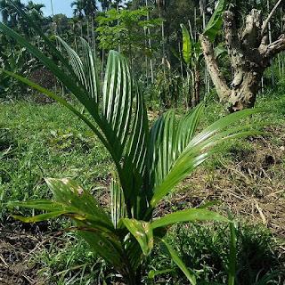 Tipe lahan yang cocok untuk budidaya pinang