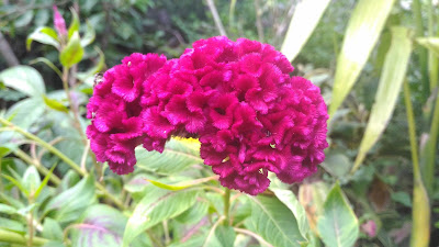 Auto mode- Asus zenfone Selfie - Sample Photo - Celosia Flower