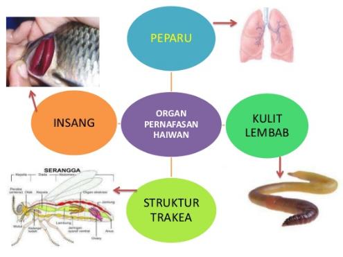 Image result for organ pernafasan haiwan