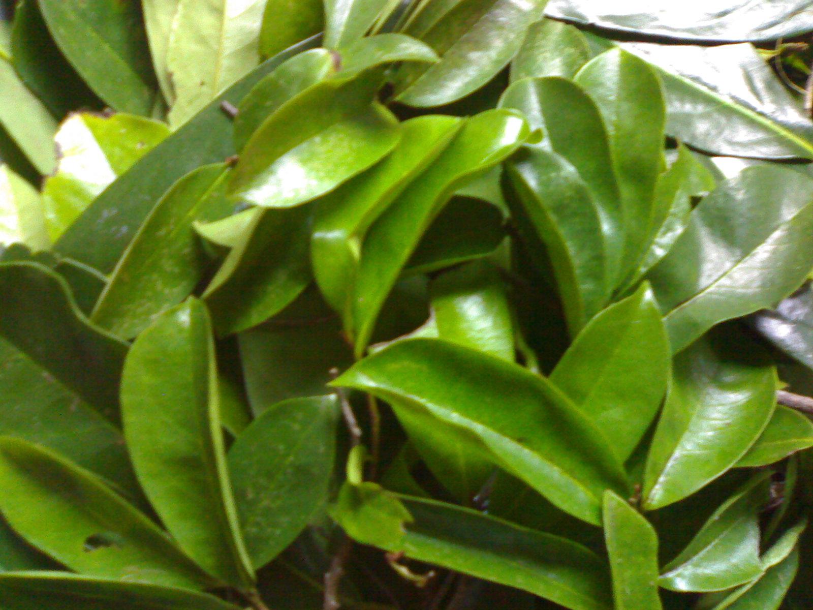 Natural Cancer Treatment with Soursop Leaf - Cancer Blog   Soursop Leaves