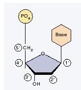 penomeran atom karbon pada nukleotida