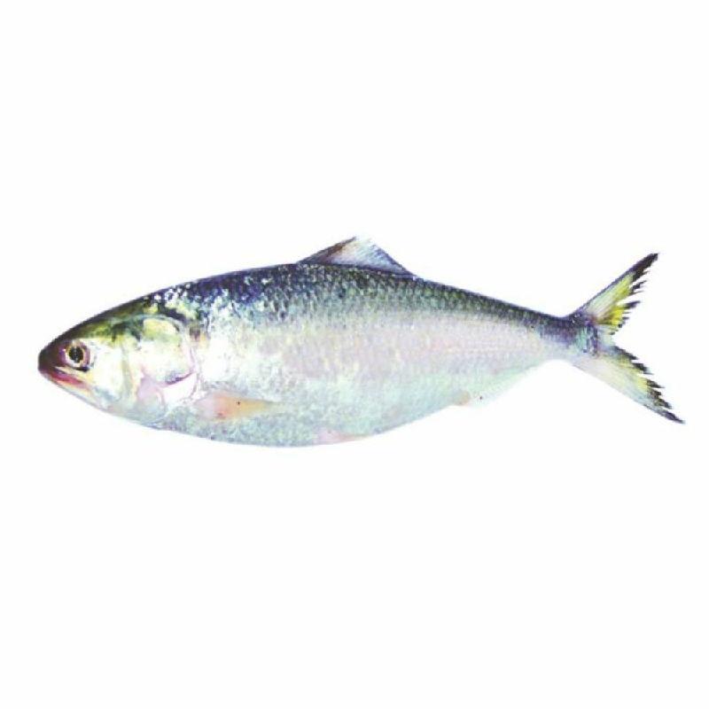 Gambar Ikan Laut Hilsa