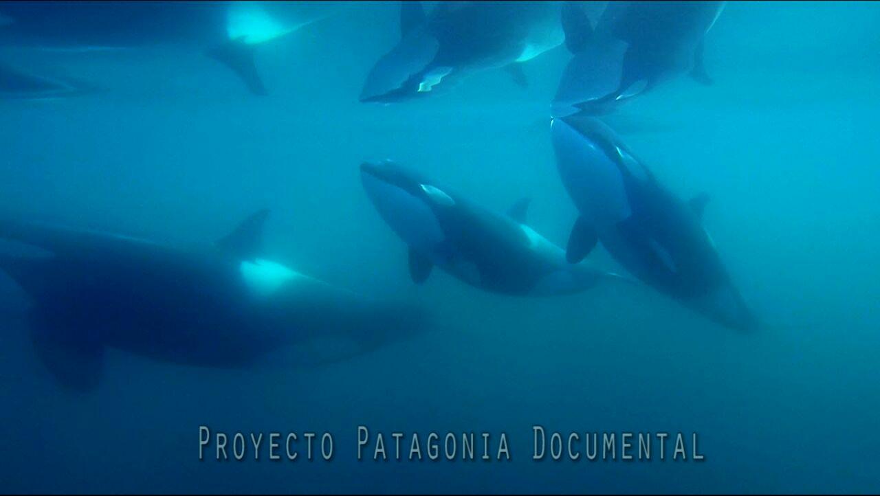 orcas proyecto documental fotografico en Puerto Piramides fauna