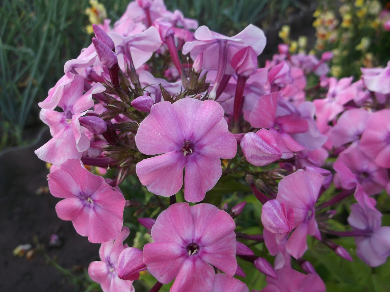 Цветы садовые фото и названия флокс