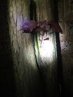 ど根性に杉(過ぎ)る紫蘇