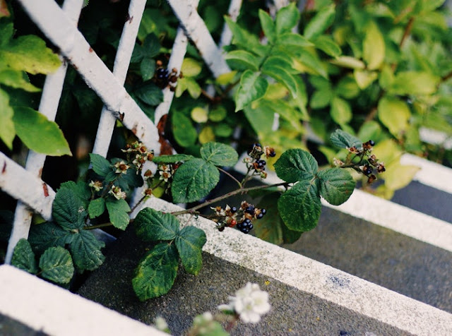 Blackberry bush poking through a fence