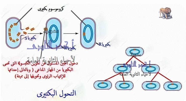 الحمض النووى ديؤكسى ريبوز - الأدلة على أن DNA هو المادة الوراثية - التحول البكتيرى  - تجربة جريفث