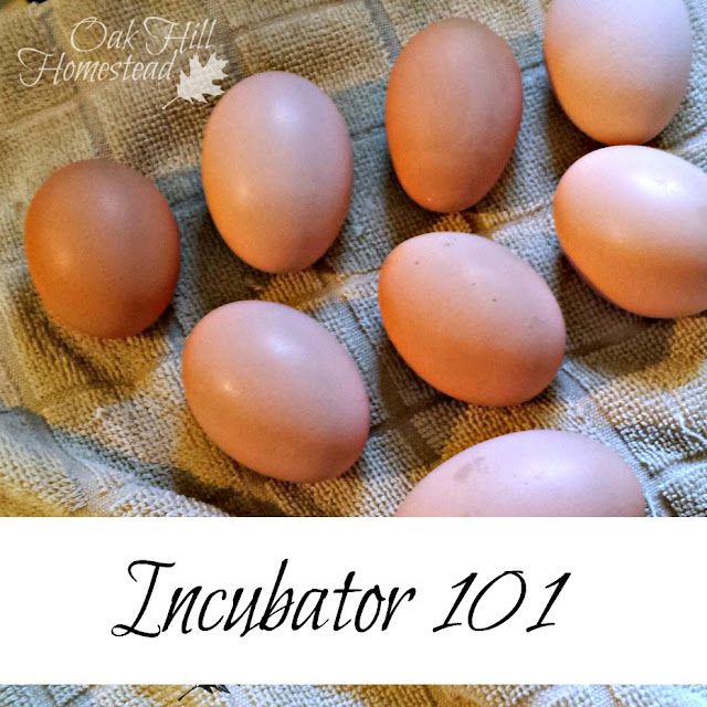 How to incubate eggs