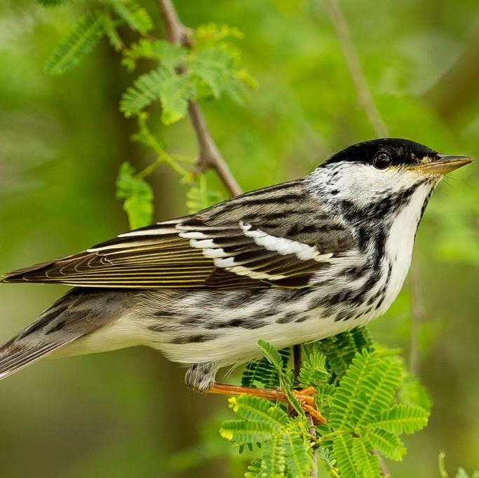 Picture of blackpoll bird.