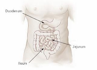 intestin grêle jejunum duodenum ileum infirmier