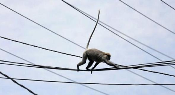 Detik-Detik Monyet Tersengar Listrik Tegangan Tinggi