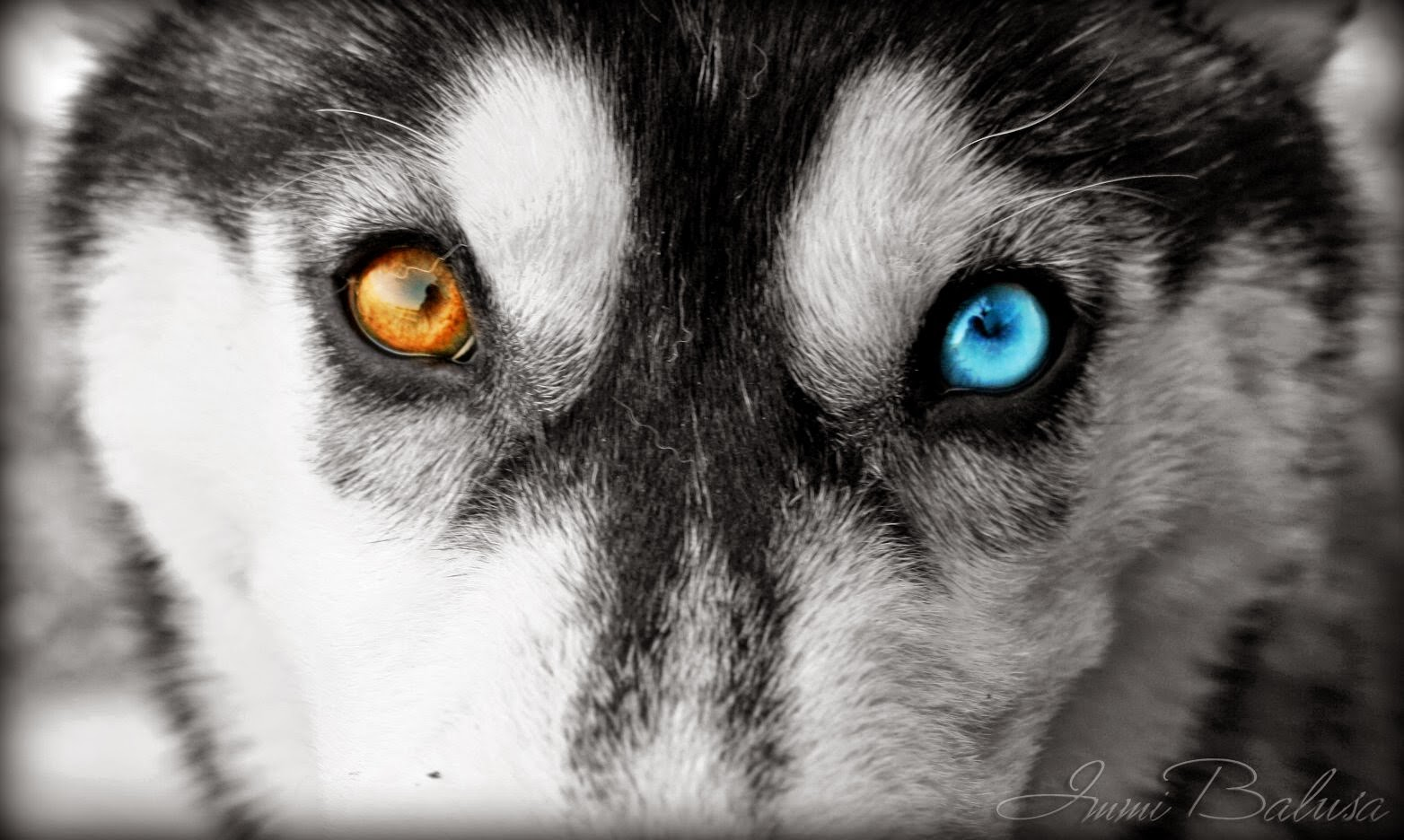 White Wolf : 20 Striking Photos Of Huskies With Different ...