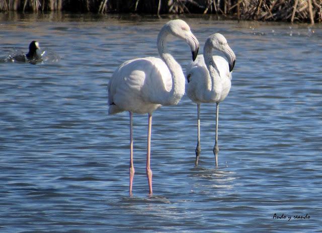 Flamencos en la laguna de Navaseca