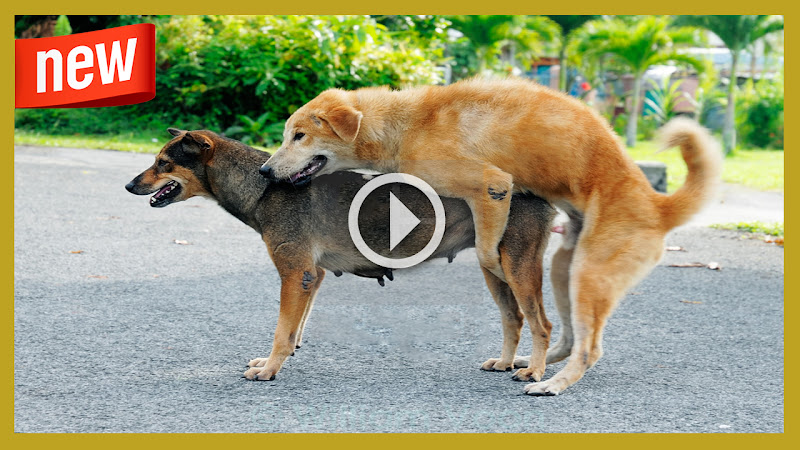 Dogs Mating Up Close Funny dog mating up close and get stuck for a ...