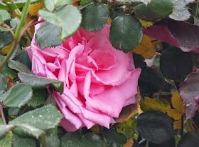 Star Nursery Blog Desert Rose
