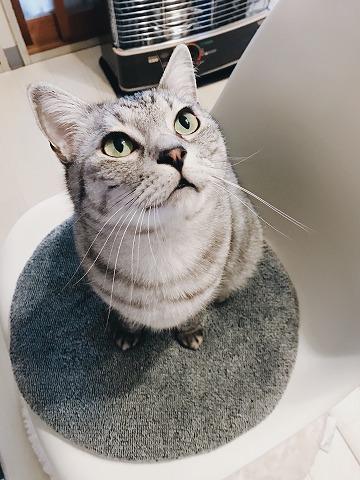 椅子の上にいるサバトラ猫