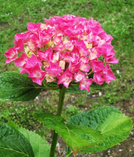 hortensia o hydrangea