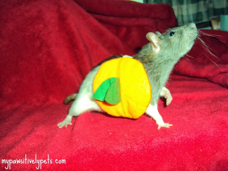 & Halloween Costume Ideas for Small Pets | Pawsitively Pets