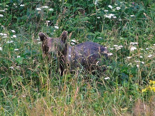 Niedźwiedź brunatny (Ursus arctos) w Dolinie Jaworzynka.
