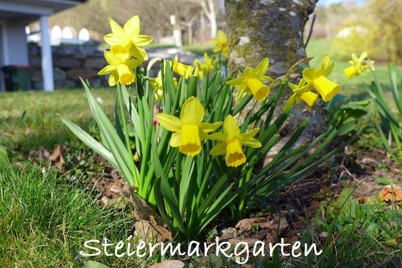 Narzissen-Steiermarkgarten