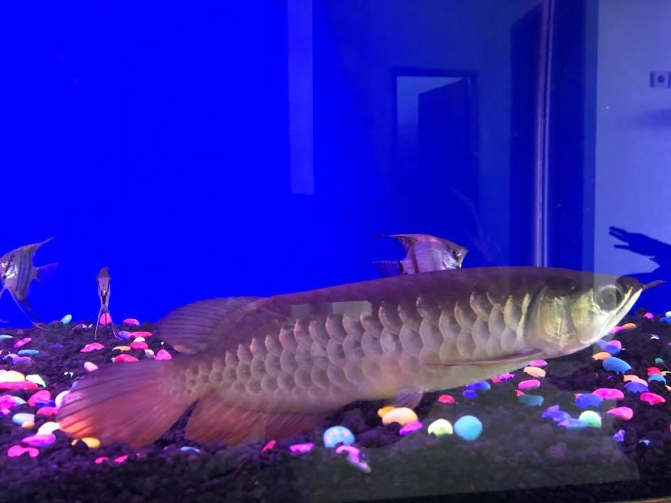 Arwana berenang di dasar aquarium