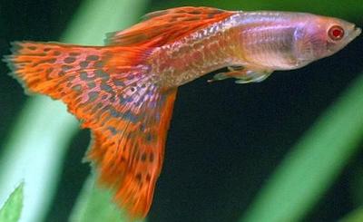 Harga Ikan Guppy Metal red lace albino Tahun 2016 - 2017