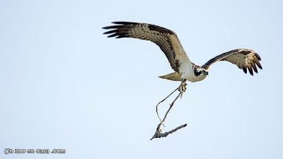 Águila pescadora con material para su nido