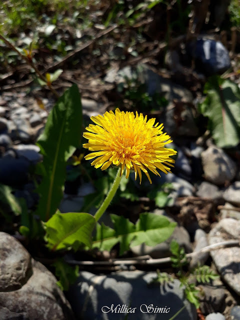 taking a look at dandelions Home page writing taking a look at dandelions dandelions grown as a crop should be spaced about a foot apart and kept clean by hoeing the tops should be cut off so the land will not be smothered by the weed when the seeds appear.
