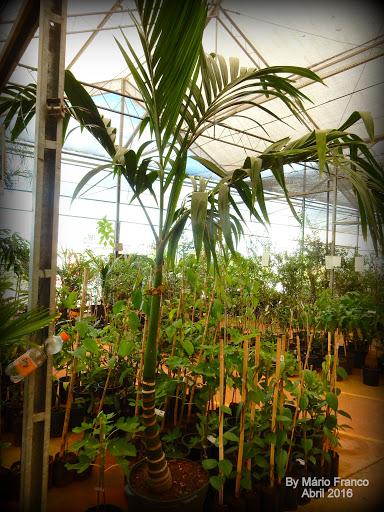 mudas palmeira-betel, noz-de-betel