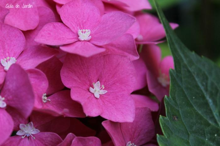las hortensias son plantas fascinantes con esas hojas grandes verdes y esas que son como un ramo de flores cada una