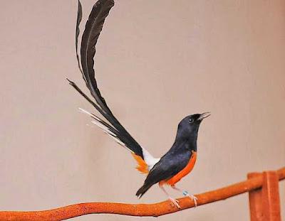 burung murai batu mp3