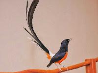 Suara Burung Murai Batu Mp3 Terlengkap dan Terbaru 2017