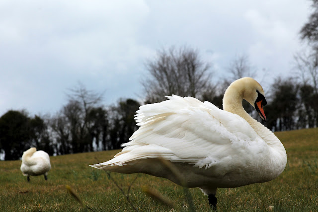 Two swans at Emo Court