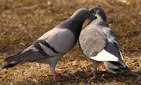Mengapa Burung Merpati Bisa Menemukan Jalan Untuk Kembali Ke Rumahnya Mengapa Burung Merpati Bisa Menemukan Jalan Untuk Kembali Ke Rumahnya???