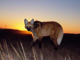 lobo-guará - É tímido e arredio. Não ataca o homem, somente rosna quando acuado. É o maior e considerado o mais belo canídeo da América do Sul