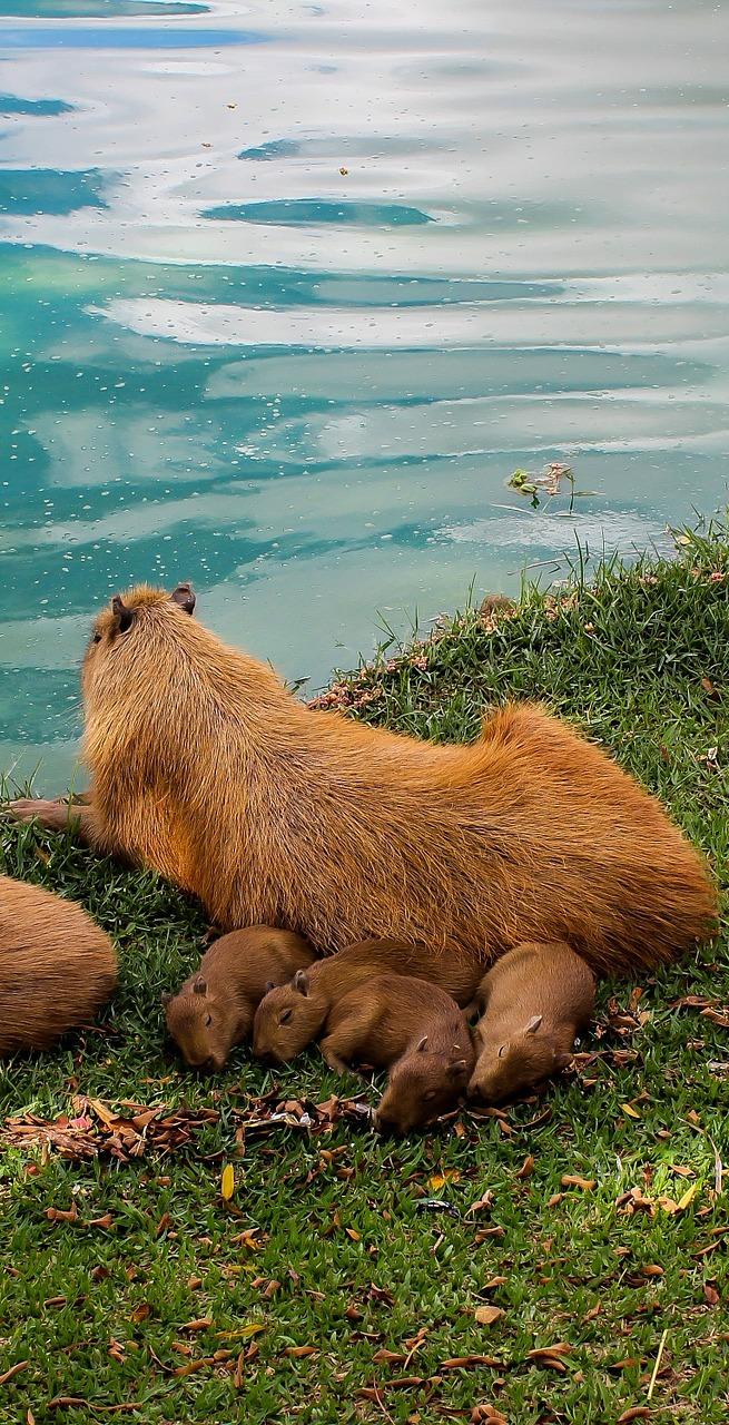 A Capybara with her babies.
