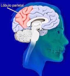 Rostro humano destacando en rojo ubicación del lóbulo pariental dentro del cerebro