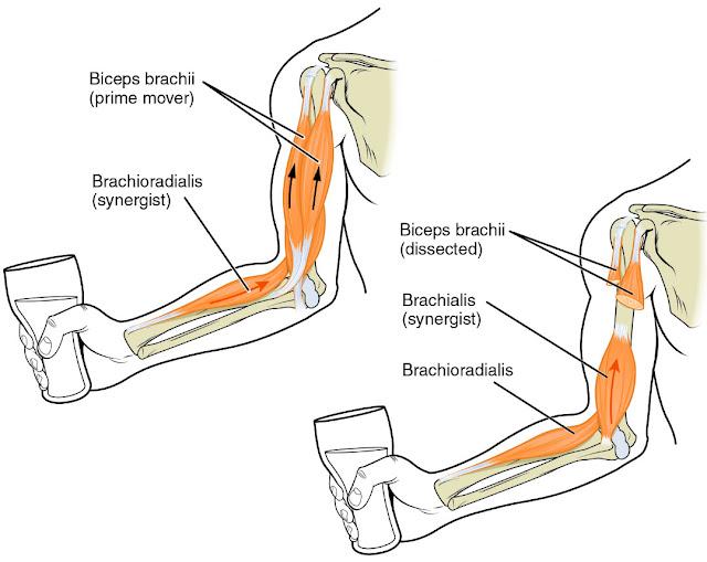 Gambar Otot antagonis dan otot sinergis