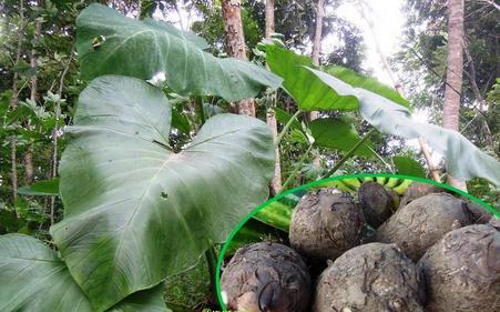 Tumbuhan Mbote Talas Dan Kandungan Manfaat Di Dalamnya
