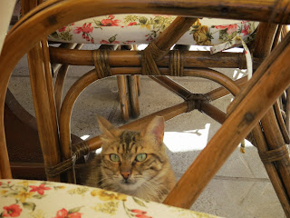 Day Trip to North Cyprus: cat begging for food at Canli Balik in Kyrenia