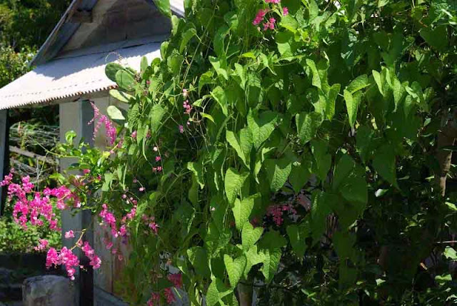 house nearly hidden by pink flowering vines