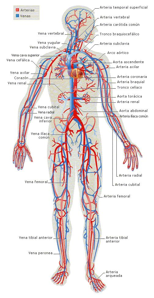 sistema circulatorio Parte I