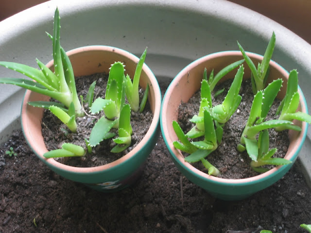 how to buy aloe vera plant