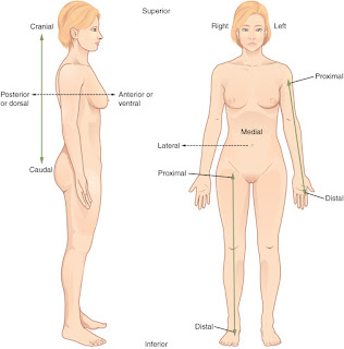 The anatomical position of the body