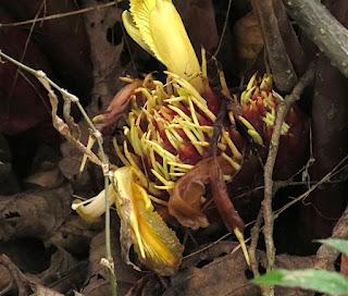 Amomum subulatum, black cardamom.