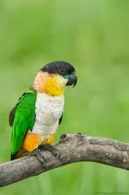 Black headed parrot