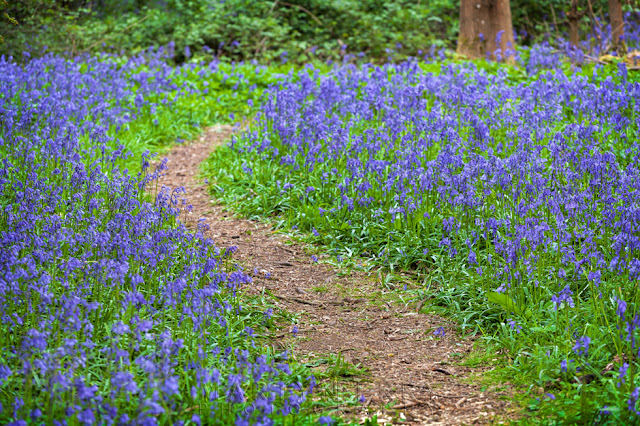 Brampton Wood bluebells in spring line a small woodland track